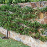 edible plum hedge