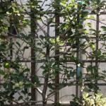 edible apple hedge