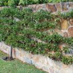 edible plum hedge