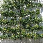 espalier edible hedge
